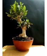 Bonsai de olivo gigante - Una planta de 25 años - De la colección privada - $337.85