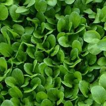 1/2 Oz Seeds of Malachai Mustard - $31.58