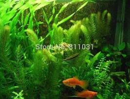 Hot selling 3000pcs/bag aquarium grass seeds (mix) water aquatic plant seeds  - $12.99