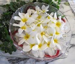 Dried organic plumeria flower tea, Frangipani,Herbal tea,Loose leaf tea,Non tox - $23.90+