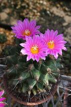 Thelocactus rinconensis ssp freudenbergeri exotic cactus collector seed ... - $18.00