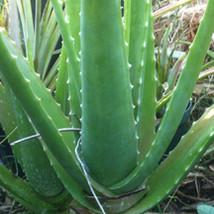 4 pcs aloe vera live plant 6''/8'' Yard Garden Outdoor Living - $48.00