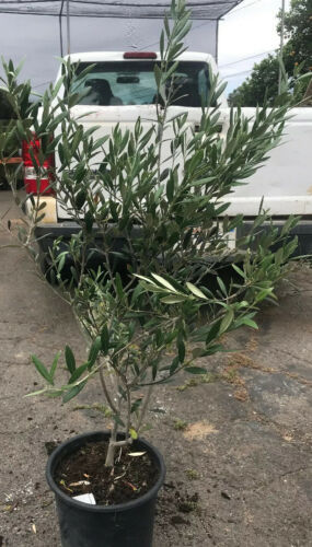 "Primary image for OLIVE TREE 5g - LIVE PLANT - OLEA EUROPAEA ""Mission""  - 24"" TALL"