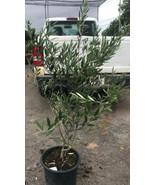 "OLIVE TREE 5g - LIVE PLANT - OLEA EUROPAEA ""Mission""  - 24"" TALL - $37.05"