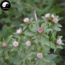 Buy Atractylodes Chinensis Herb Seeds 400pcs Plant Atractylodes For Bei ... - $15.99