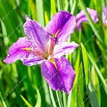 100pcs Iris Seed Flower Seeds Beautiful Natural Flowers Garden Flowers S... - $4.59