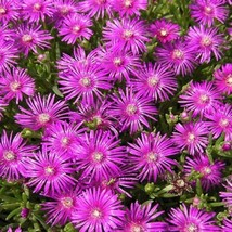 Ice Plant Table Mountain Flower 20 Seeds - $5.07