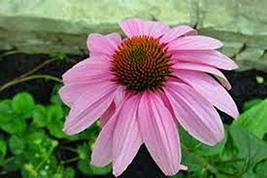 Purple Coneflowers 50+ Seeds Beautiful Purple Blooms - $4.49
