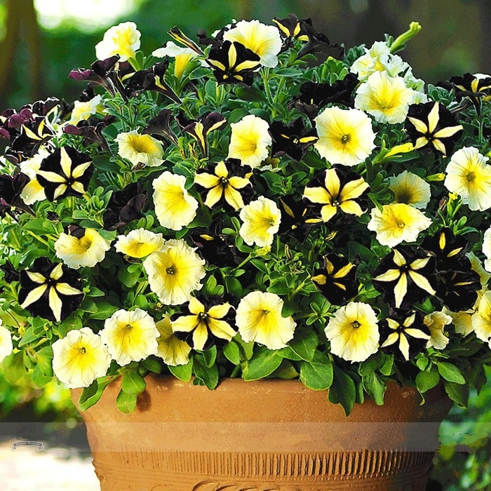 Rare Phantom Petunia Flower Seeds, Professional Pack, 100 Seeds / Pack