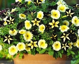 Rare phantom petunia flower seeds 01 thumb155 crop