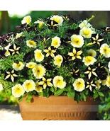 Rare Phantom Petunia Flower Seeds, Professional Pack, 100 Seeds / Pack - $3.99