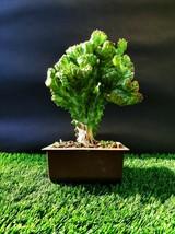 Euphorbia Lactea Forma Cristata - An amazing CactiBonsai - very old plant - $157.11
