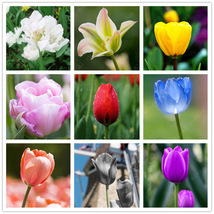 2 Pcs Chinese Tulip Bulbs 9 Colors Flower Seeds Plants Flowers Home Garden  - $6.50+