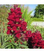 SHIP From US Snapdragon Ruby Flower (Antirrhinum Majus Maximum) 200+Seed... - $24.99