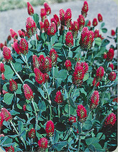 clover, CRIMSON CLOVER, full sun, red, attrracts bees, 360 seeds!  - $13.85