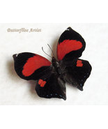 RARE Scarlet Leafwing Siderone Marthesia Real Butterfly Museum Quality D... - €61,64 EUR