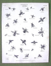 ENTOMOLOGY Insects Order Diptera Musca Genus Flies- 1820 A. REES Print E... - $16.20