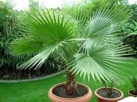 10 fresh seeds mini Washingtonia Robusta Fresh Palm Tree Filifera - $1.96