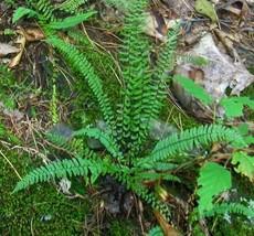 3 LIVE PLANTS HEIRLOOM EBONY SPLEENWORT FERN ASPLENIUM STARTER SHADE EVE... - ₹1,421.58 INR