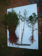 1 bald - 2 to 3 feet tall - cypress tree - Taxodium distichum - $17.99