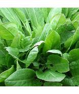 Large Leaf Sorrel Seeds | Sorrel Seeds | Sheep's Sorrel Seed | 10 seeds - $12.04