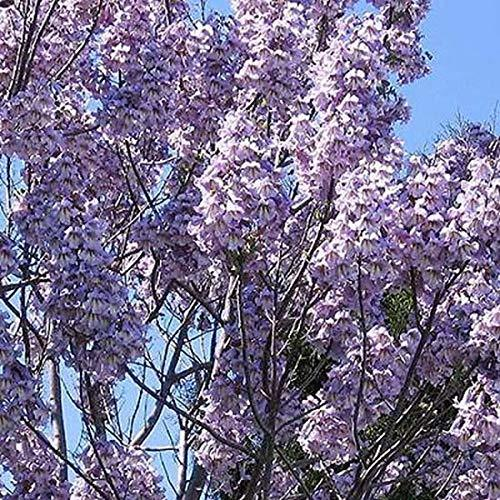 Primary image for 10 Seeds of Royal Empress Tree Paulownia Elongata