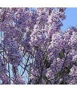 10 Seeds of Royal Empress Tree Paulownia Elongata - $13.86