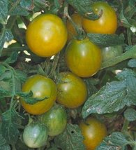2000 Seeds of Green Grape - Tomatoes Green - $59.40