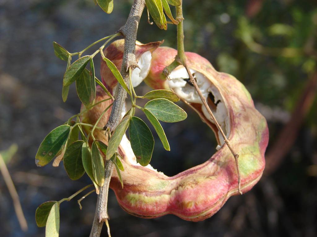 EXOTIC Manilla tamarind Pithecellobium dulce Madras thorn fruit seed 15 SEEDS