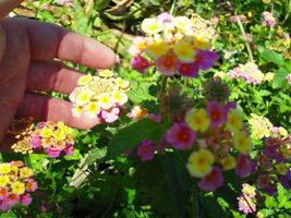 SHIP From US, 100 Seeds Lantana, DIY Home Garden AM - $39.99