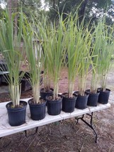 Lemongrass 5 Live Plants Each 4In to 7In Tall fully rooted FREE SHIPPING - $29.95