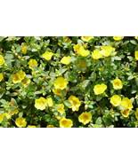 200 Purslane (Portulaca oleracea Sativa) Seeds - $6.93
