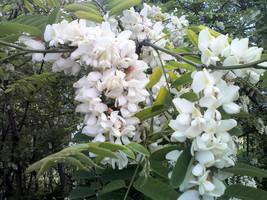 "8"" - 12"" inches Black Locust Tree Robinia Pseudoacacia Live Plant  - $128.00"