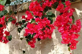 Live Plant Bougainvillea - 'San Diego Red' - Live Plant - Gardening - $40.99