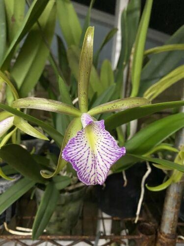 Brassocattleya Mary Dodson Nodosa Schilleriana Cattleya Orchid Plant 0326a