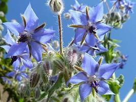 Borage Herb Seeds - 500 Count Seed Pack - Non-GMO - an Open-pollinated herb Vari - $13.49
