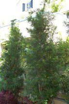 Podocarpus macrophyllus Buddhist Pine Pint Plant FREE SHIPPING - tkgg - $39.95