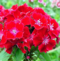 200 SEED Dianthus Chinensis RED DIANTHUS - $4.65