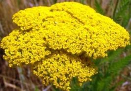 SHIPPED From US, GOLD YARROW 100 FRESH SEEDS FREE SHIPPING-SPM - $16.99