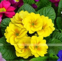 Fresh Rare Yellow Primrose Garden Easy Planting 100pcs Seeds Flower Semillas - $8.40