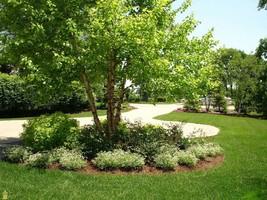 River Birch multi-stem clump tree (betulanigra) in quart pot image 1