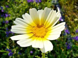 Garland Daisy 300 Flower Seeds - $15.98