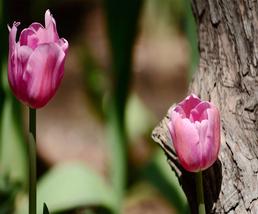 1 PCS New Varieties of Tulip Flowers Lilies  High-Grade Bulb Plants Tuli... - $6.92