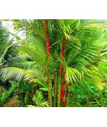 10pcs Very Excellent Lipstick Palm Cyrtostachys Renda Tree Seeds IMA1 - $13.99
