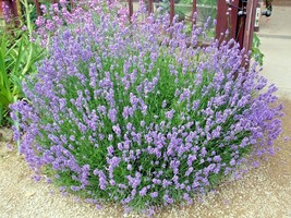 300+TRUE ENGLISH LAVENDER Seed Organic Herb Oils Fragrance Fresh Dried R... - $2.50