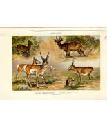 "1902 Antique Print Picture Antelopes Bush Buck Duikerbok Saiga Pronghorn 10X6"" - $27.47"