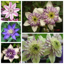 Clematis Seeds Climbing Flower Seeds Potted Plant Seeds Balcony Clematis... - $1.96