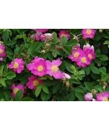 100 Seeds ~ Alberta Wild Rose ~ Shrub Rosa Acicularis - $7.99