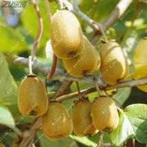 100 PCS Nutrient Rich Delicious Fruit Kiwi Seed Bonsai Enhance Immune Fu... - $2.18