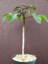 Jatropha gossypiifolia rare succulent plant cacti 6 pot - $36.00